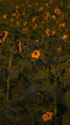 向日葵 鲜花 盛开 花田 枝叶