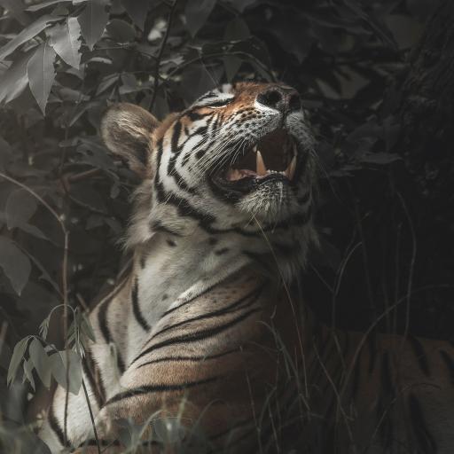 老虎 虎纹 肉食动物 森林之王