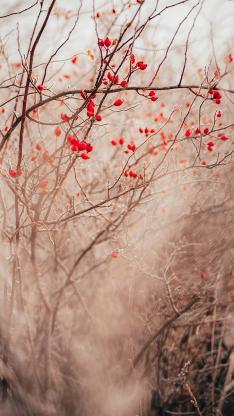 树木 花楸树 红色果实