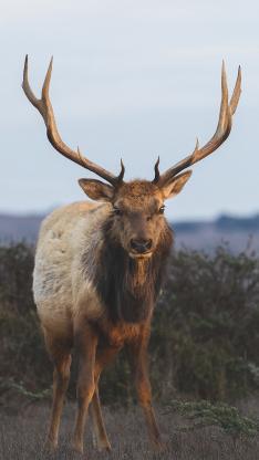 郊外 野生 公鹿 鹿角