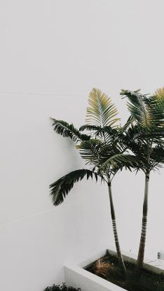 盆栽 假槟榔 棕榈科